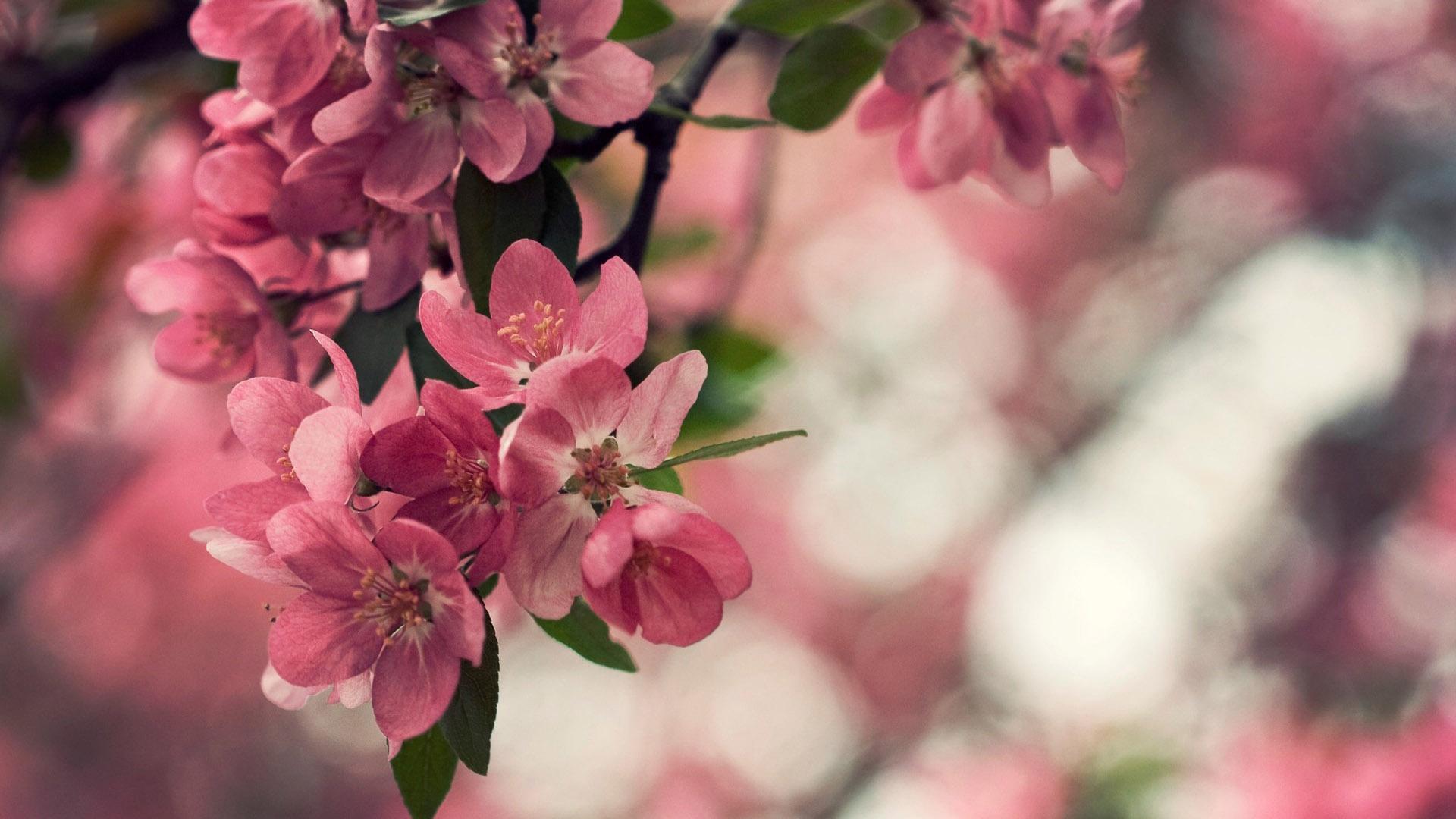 Prema rose productions llc spring - Flower wallpaper dp ...